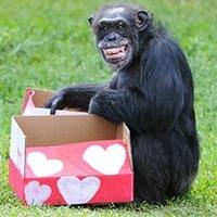 вчені довели, що довготривала пам'ять властива шимпанзе і орангутангів