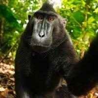 господар камери подає в суд за селфи мавпи