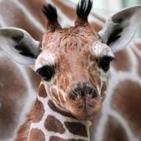 жирафа в зоопарку вбили, тому що йому не з ким схрещуватися