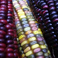 насіння «райдужної» кукурудзи з'явилися у продажу