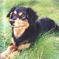 породі собак алопекис – частини культурної спадщини греції – загрожує вимирання