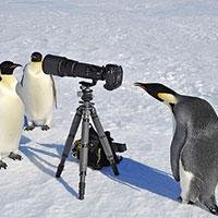 імператорські пінгвіни можуть адаптуватися до змін навколишнього середовища