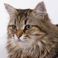 погладжування підсилює занепокоєння у кішок і викликає стрес
