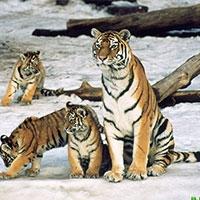 кількість амурських тигрів нарешті почала збільшуватися