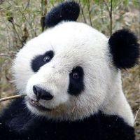 єдиною на всю великобританію панді зробили штучне запліднення