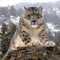на тибеті виявлені найдавніші останки великої кішки