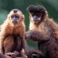 мавпи-капуцини здатні до соціальної оцінки дій людей