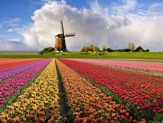 Як тюльпани потрапили в Голландію?