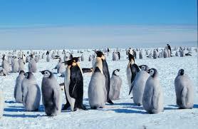 Цей чудовий імператорський пінгвін!
