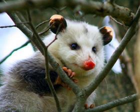 Чим відрізняється поссум від опосума?