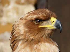 Степовий орел   цікаві факти