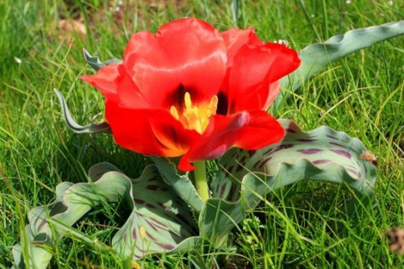 Тюльпани Казахстану