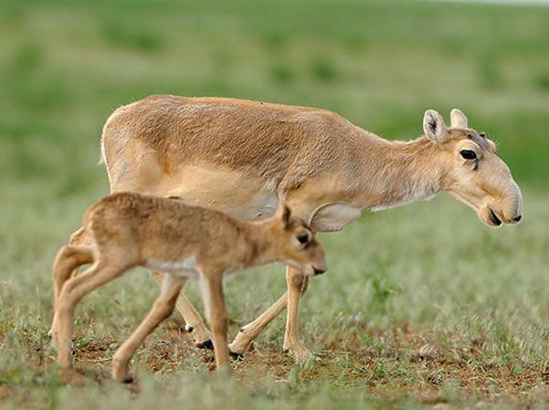 Які тварини Казахстану занесені в Червону книгу?