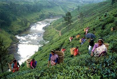 Чай з Шрі Ланки