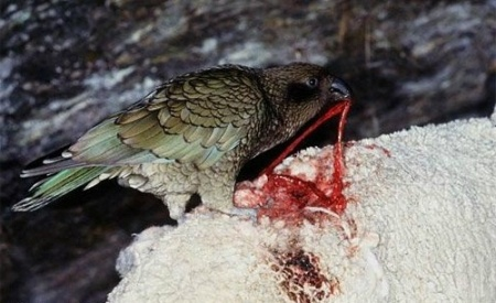 Який папуга їсть мясо?