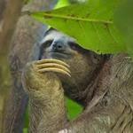 Лінивці   все найцікавіше про їх ледаче життя